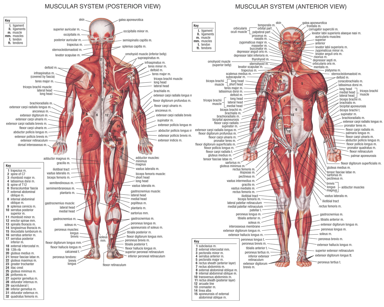 the human body muscles, Muscles