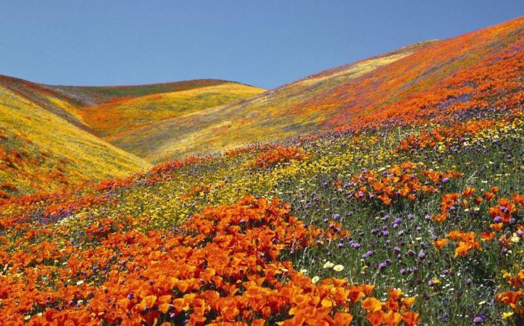 California Poppies (Eschscholzia californica). Antelope Valley. California, USA