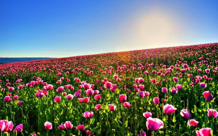 flower fields (7)