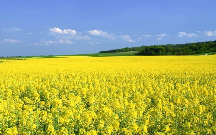 flower fields (8)