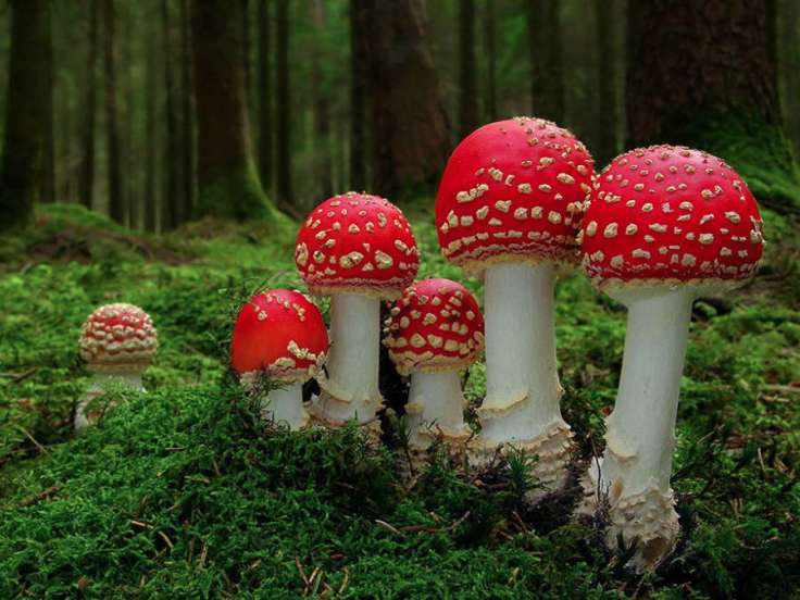 mushrooms-amanita-muscaria
