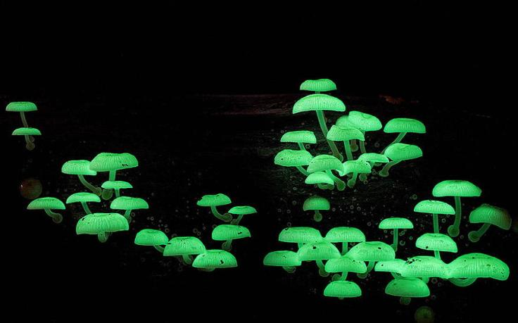 mushrooms-mycena-chlorophos