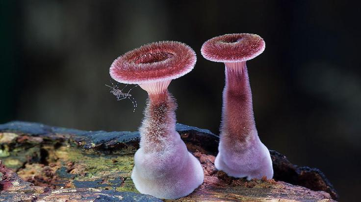 mushrooms-panus-fasciatus