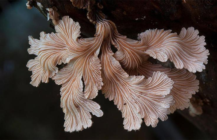 mushrooms-schizophyllum-commune
