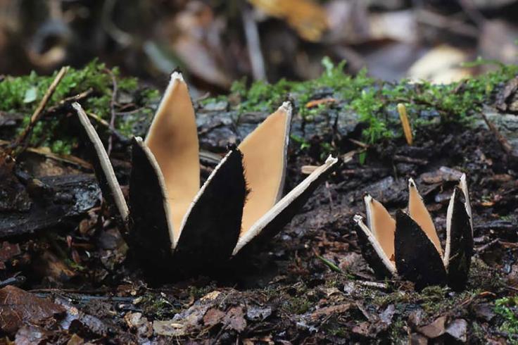 mushrooms-chorioactis