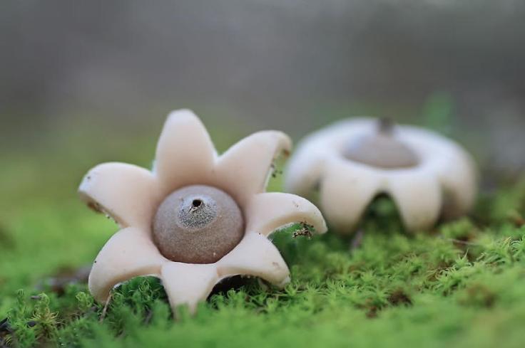 mushrooms-geastrum-minimum