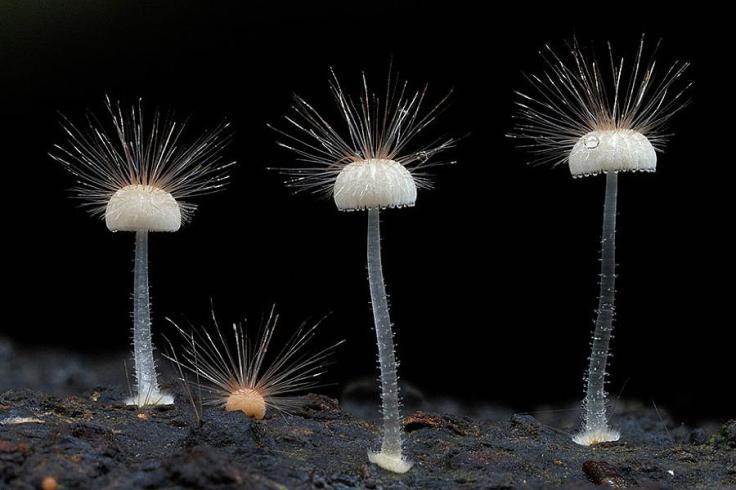 mushrooms-hairy-mycena