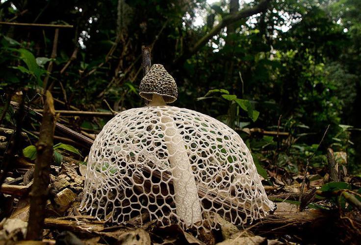 mushrooms-phallus-indusiatus