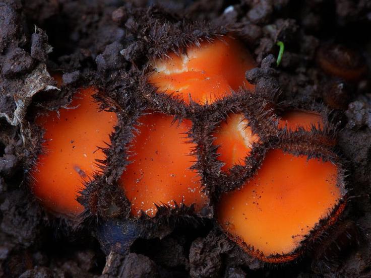 mushrooms-scutellinia-scutellata