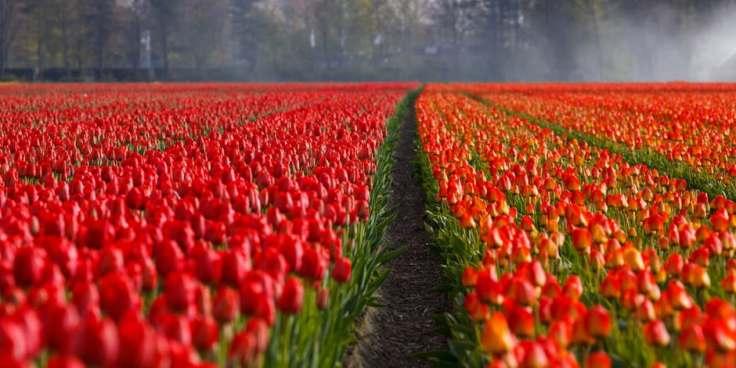 tulips-tulip-field-fields-87633
