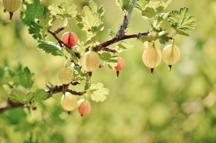 gooseberry-fruits-red-spring-65302