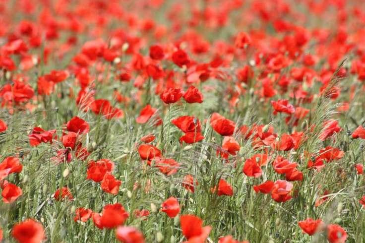 poppy-red-poppy-blossom-bloom-54182