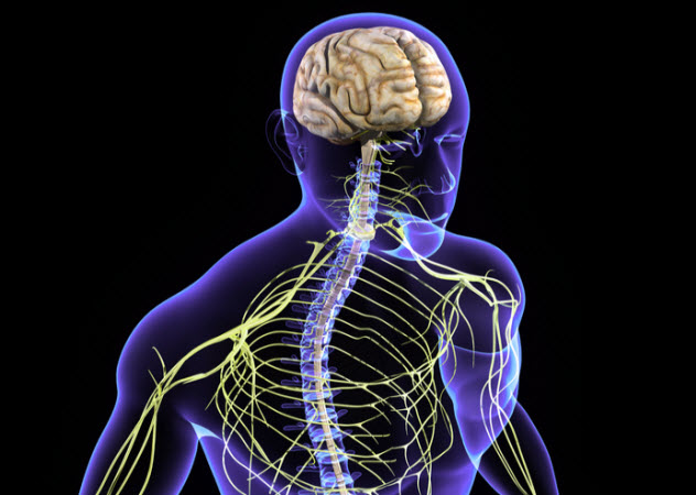 7a-central-nervous-system_66107321_SMALL
