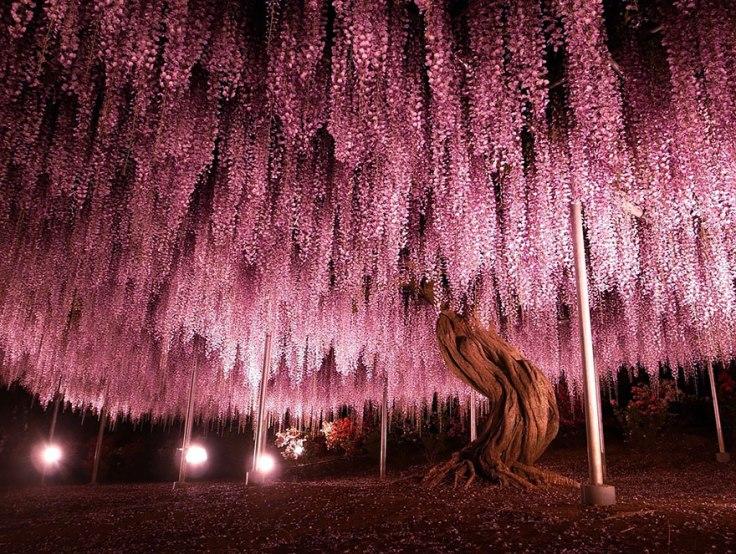 tochigi-wisteria-festival-japan-58e5f5c8ee0f2__880