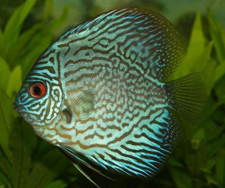 perch-cichlid-discus-cichlid-freshwater-fish-78790
